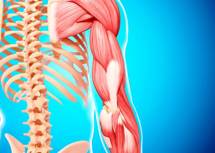 Músculos e ossos, exemplos de tecido do corpo humano.